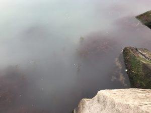 石狩湾新港の中で群来!と大型ニシン爆釣!