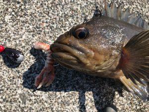 まさかのシマゾイを穴釣りで釣り上げる瞬間。釣りYouTuberデビュー?